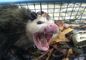 Tallahassee Opossum Removal