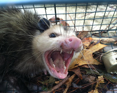 Opossum problems? Black Thumb Wildlife Services in Tallahassee and Panama City, Florida has a humane solution for you!