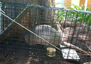 Humane armadillo removal in Tallahassee.