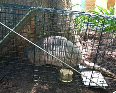 The armadillo is a growing problem to Florida homeowners. Armadillos destroy nicely manicured lawns and flowerbeds.