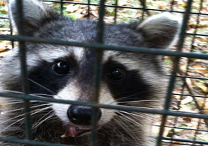 Tallahassee Raccoon Removal