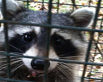 Call Black Thumb Wildlife: 850-445-2256 Raccoons need only a two inch gap in order to squeeze into your home!